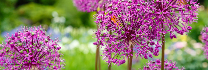 Allium cyrilli